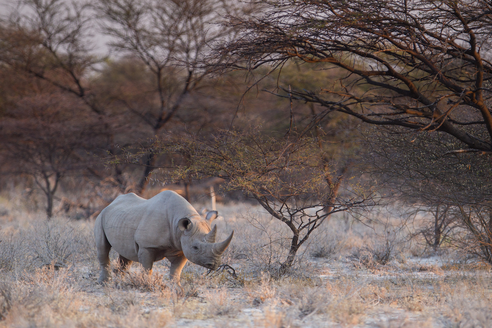 Black Rhino in Etosha National Park