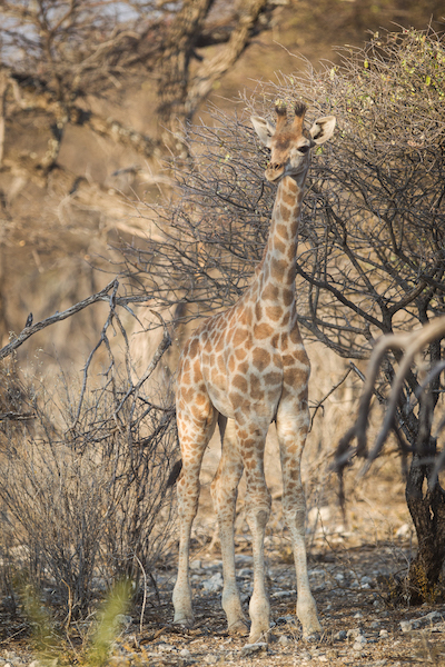 Giraffe youngster on afternoon Onguma Etosha Game Drive