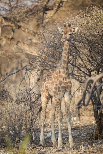 Giraffe youngster on afternoon Onguma Etosha Game Drive