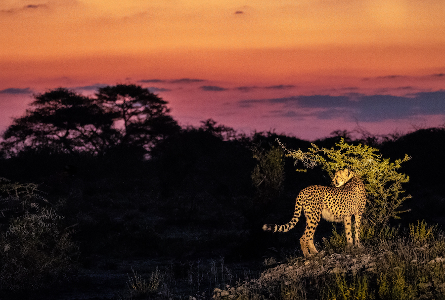 Cheetah at sunset on Onguma