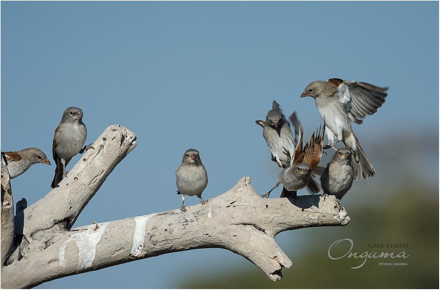 Onguma Birdlife