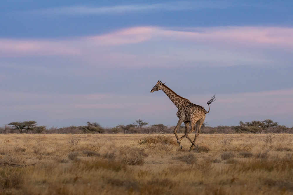 Giraffe running in the Onguma Nature Reserve