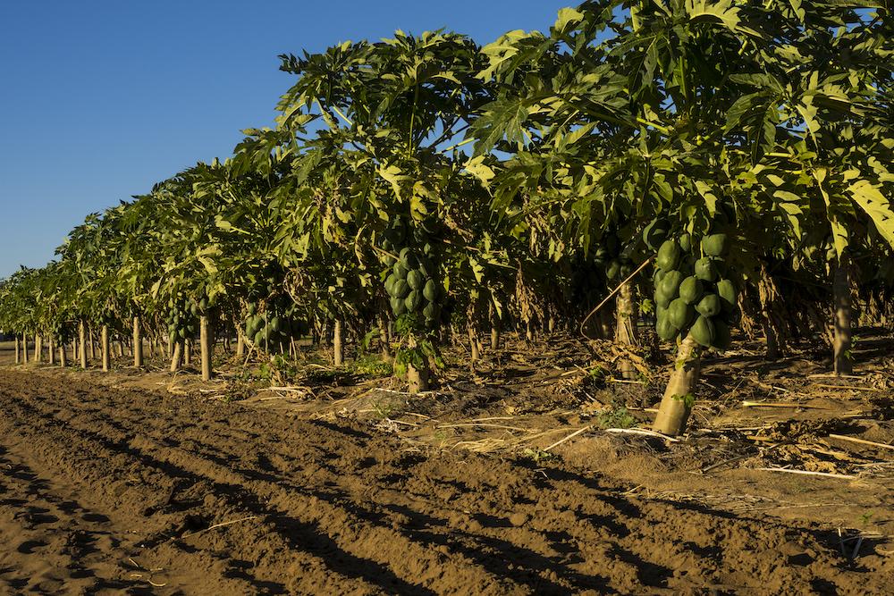 Papaya Plantation
