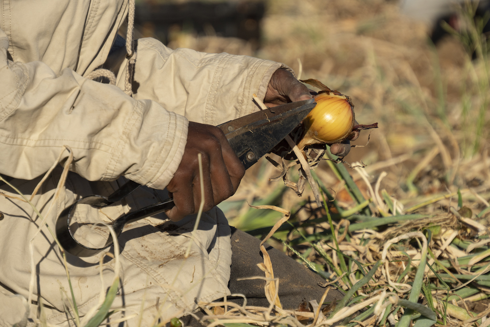 Onions being cleaned in the field