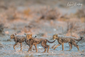 Cheetah cubs seen in the Onguma Nature Reserve