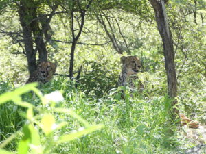 Cheetah coalition in onguma nature reserve