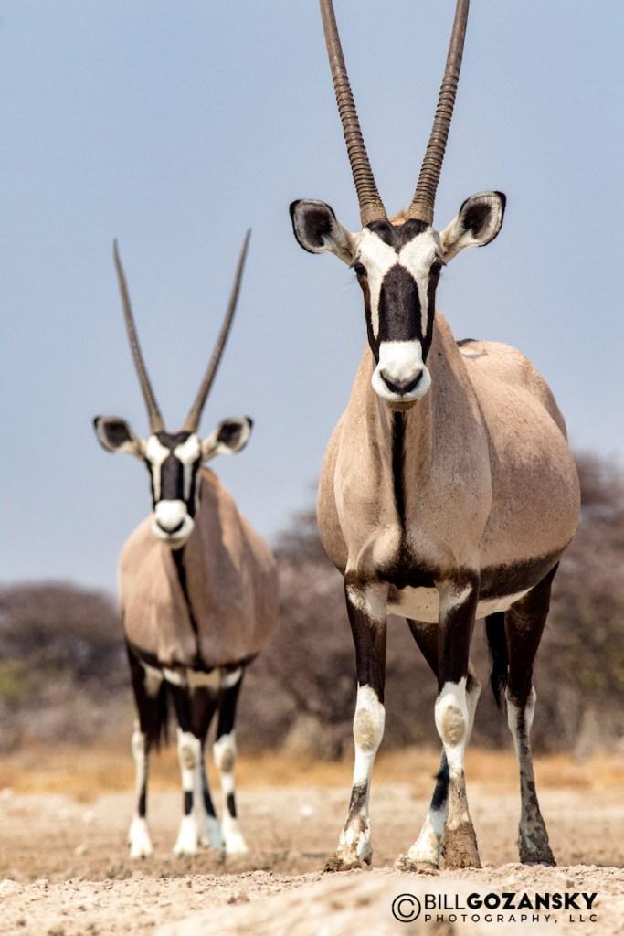 Onguma Safari Camps Oryx taken by Bill Gozansky