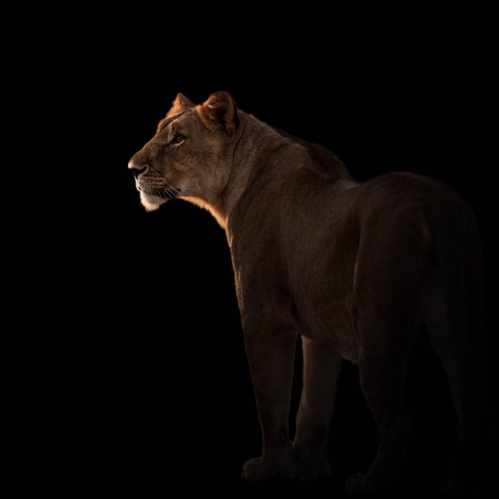 Onguma Lioness Patreon Campaign