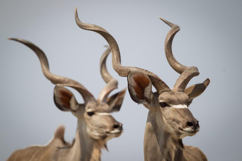 greater kudu bulls on onguma nature reserve