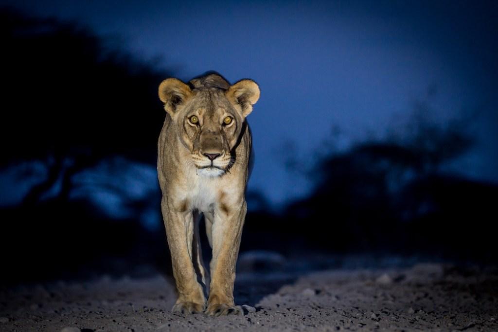 lioness at groundlevel hide on onguma