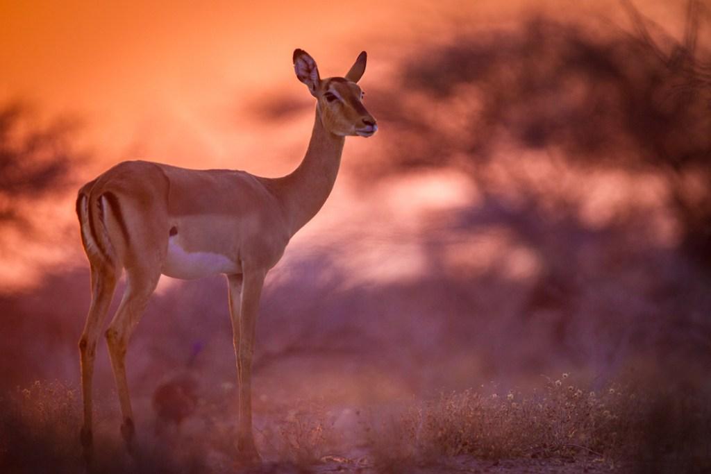 black faced impala onguma nature reserve